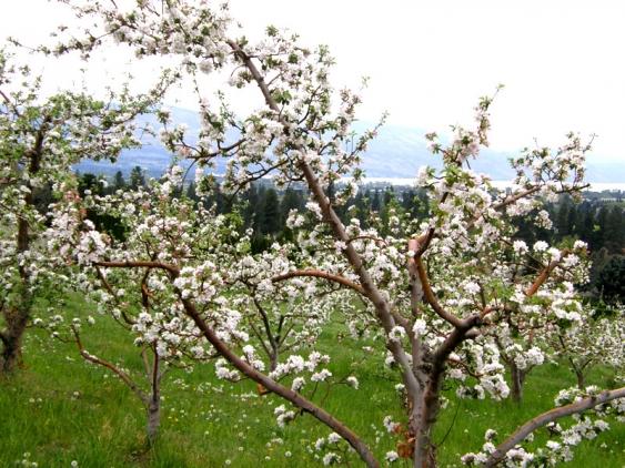 97_photo_1_Apple_Blossom_&_Lake